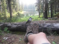 2013 Photo Contest - Flora and Fauna - Third Place Grey Jays cleaned up our crumby mess after each snack, 10 miles north of White Pass, Wash.  Photo by: Joe Lydon