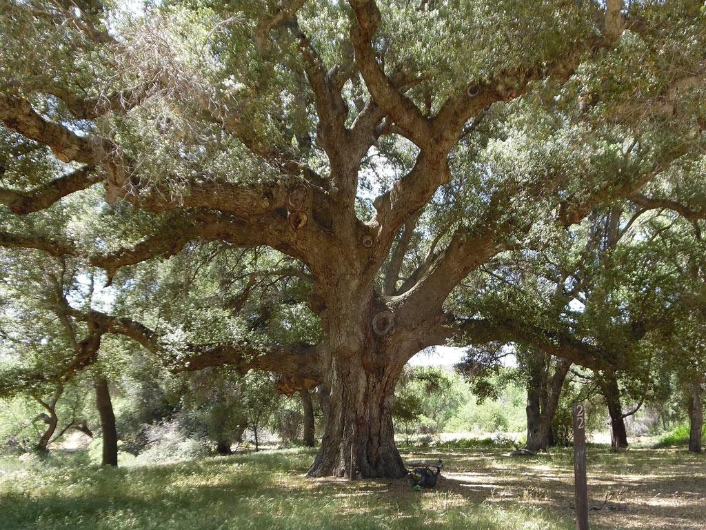 Giant-SoCal-Oak