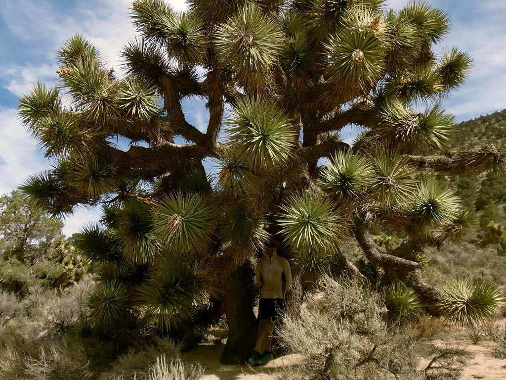 A huge Joshua Tree provides welcome shade.