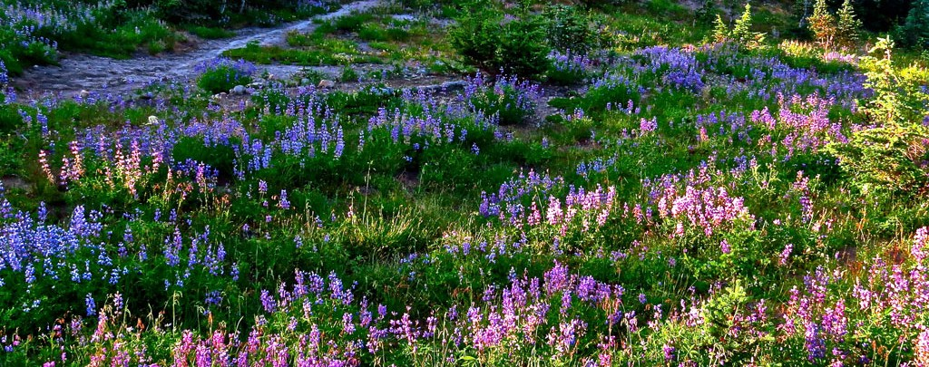 A lupine filled campsite in William O Douglas Wilderness. Photo by Eric Valentine.