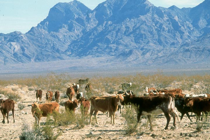 Cattle grazing the Mojave http://www.wilderness.net/images/NWPS/lib/small/Cattle-at-Mojave-NP-CA-Geor.j