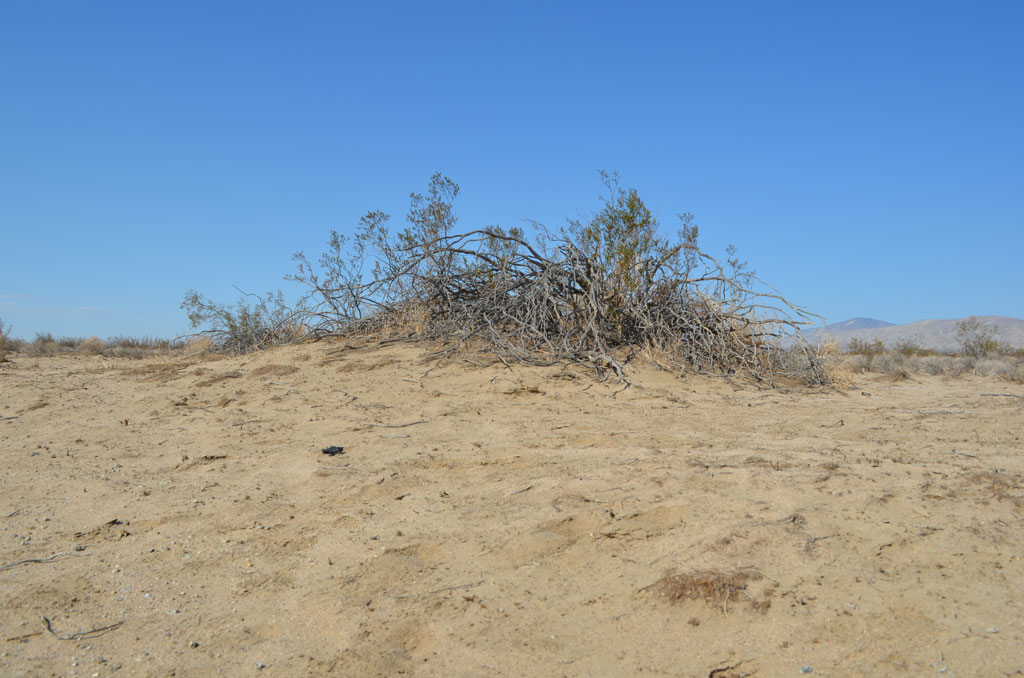 Coppice Dunes formed by a creosote bush, helping to accumulate nutrients.