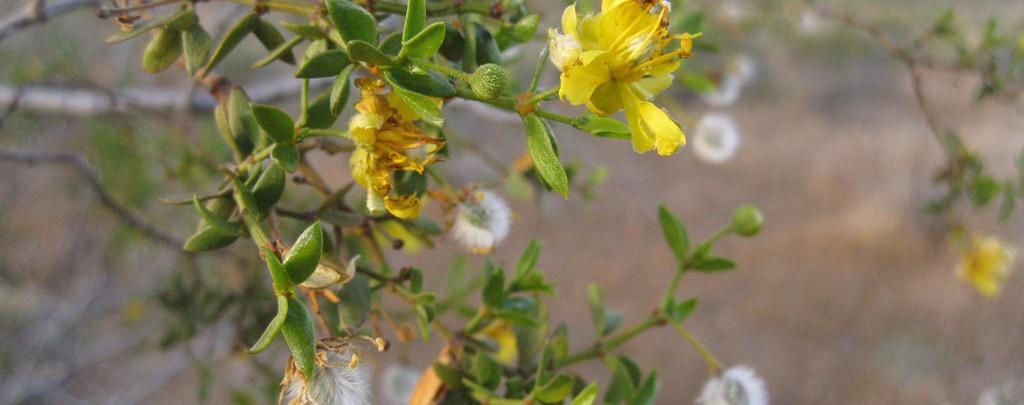 Flowering Creosote Bush