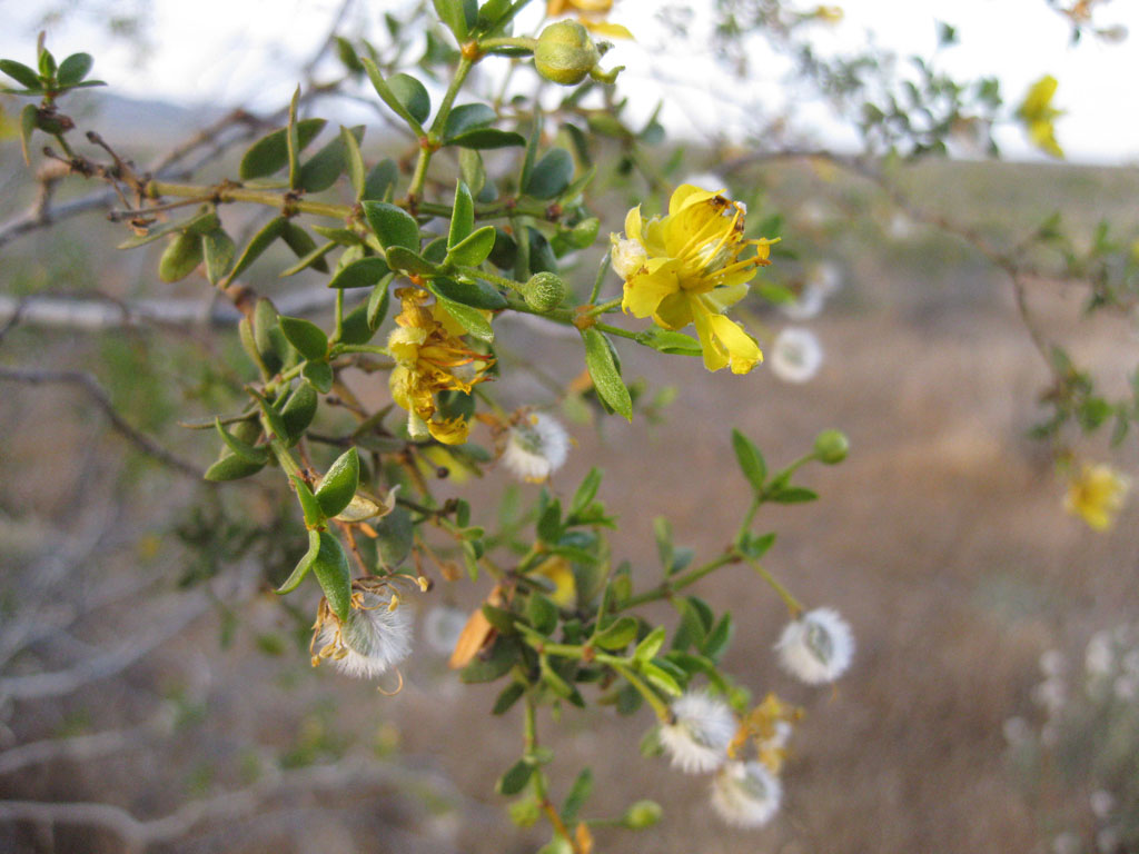 Flowering Creosote Bush