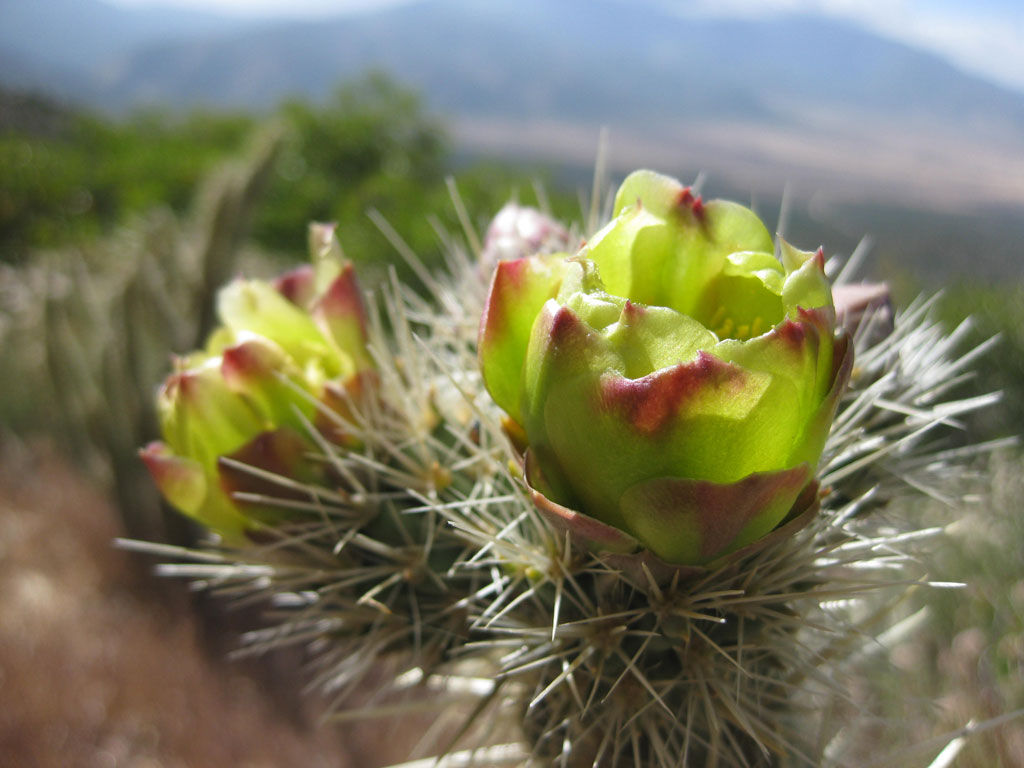 Flowering Teddy Bear Cholla cactus near Scissors Crossing