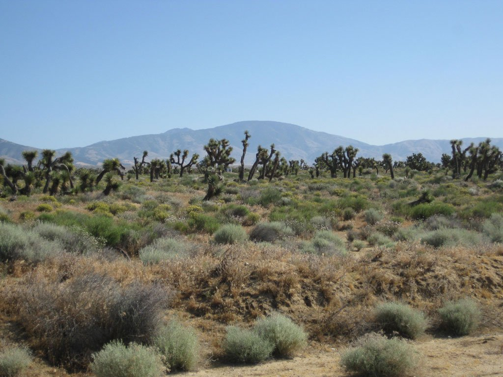 Joshua trees around PCT mile 520.