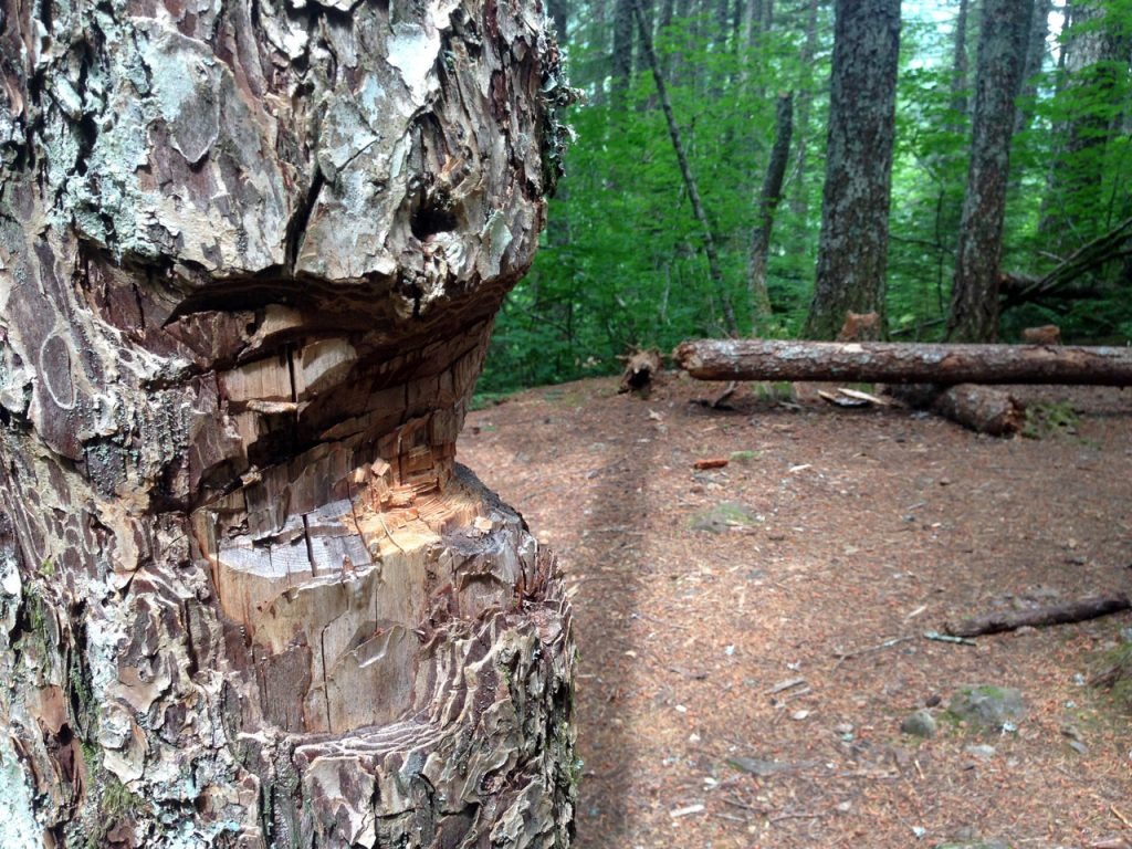 A tree damaged by a hatchet or saw at a campsite along the Pacific Crest Trail. Article is about Leave No Trace and saws, hatchets and axes.