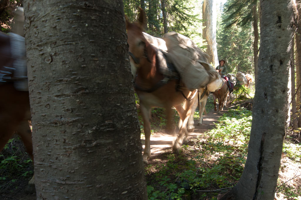 mules-on-the-pacific-crest-trail