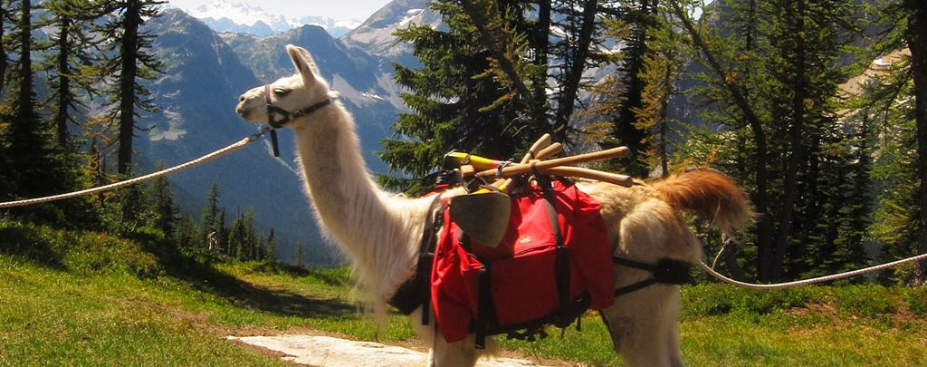"""Llamas like """"Sugar"""" hauled equipment nine miles into the backcountry so volunteers could spend a week rebuilding the trail. Photo by Loren Schmidt."""