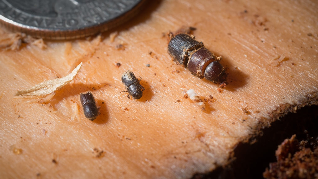Pine bark (center) and other beetles found in a dead Ponderosa pine in Sequoia National Forest are displayed on the inner side of a piece of outer bark that Entomologist Beverly Bulaon removed in search for pine bark beetles burrowed in dead coniferson August 24, 2016. As pine bark beetles and their larvae bore through the bark they leave behind frass, a sawdust-like wood debris seen in the lower right. Drought conditions have weakened the tree's ability to expel the increased number of these boring beetles. Several types of beetles live in these trees during its natural lifecycle; some are beneficial while beetles such as this can kill the tree. Brown needles and downward limbs easily identify these dead pine trees. USDA Photo by Lance Cheung.