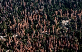 Dead and dying trees on forest lands in California, August 2016. The gray trees have been dead longer than the orange trees as they've lost their needles already. Courtesy of U.S. Forest Service, Region 5