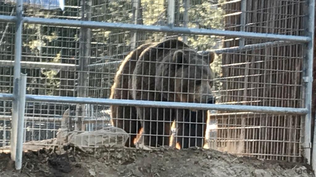 Captive bear along the trail.