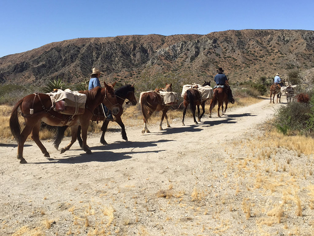 mules in southern california walking on a trail