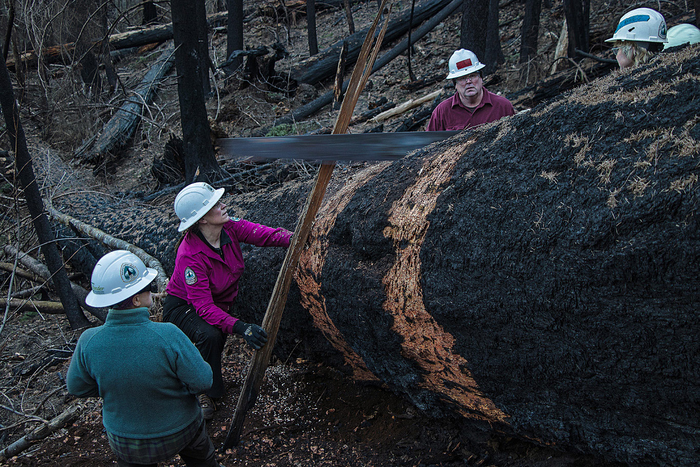 Over many months, PCTA Mt. Hood Chapter volunteers tackled a huge number of projects in the burn area. Here they are on just one of the massive logs that they cleared off of the Gorge's trails. Photo by Terry Hill
